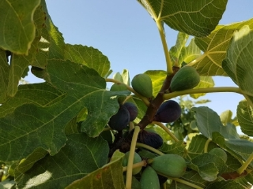 figs%20can%20bech.jpg